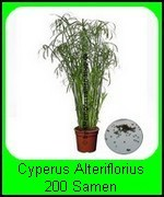 Die Cyperus alternifolius Pflanze ist bei guter Pflege sehr und somit auch nachwachsend. Saatgut-Menge: 200 Stück. Die Pflanze dient als Dekoration, jedoch mögen die Katzen das Zyperngras Alternifolius auch sehr gern, anknabbern erlaubt.