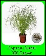 Die Cyperus Glaber Pflanze ist bei guter Pflege sehr und somit auch nachwachsend. Die Pflanze dient als Dekoration, jedoch mögen die Katzen das Zyperngras Glaber auch sehr gern, anknabbern erlaubt.
