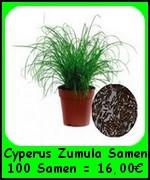 Das Katzengras (Cyperus Zumula) ist bei guter Pflege eine langlebige Pflanze und somit auch nachwachsend. Es erfreut sich daher über eine ...